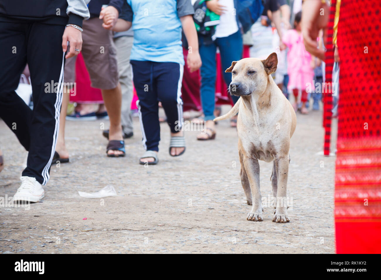 unattended stray mixed breed brown white colored street dog on pedestrian walkway background. Domestic Animal, Human friend, Companion, Pet care, Dog  - Stock Image