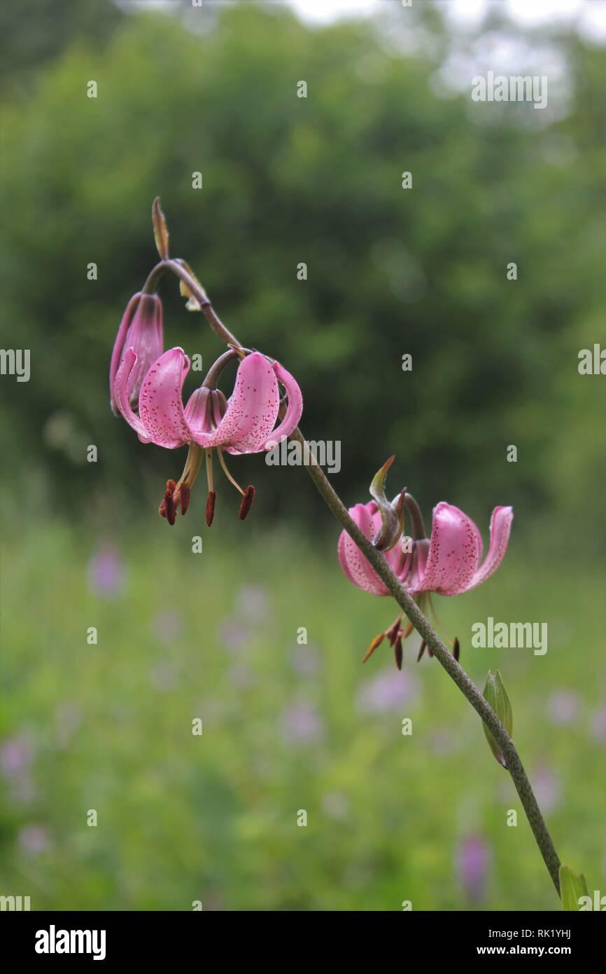 Turk´s Cap Lily (Lilium martagon) - Stock Image