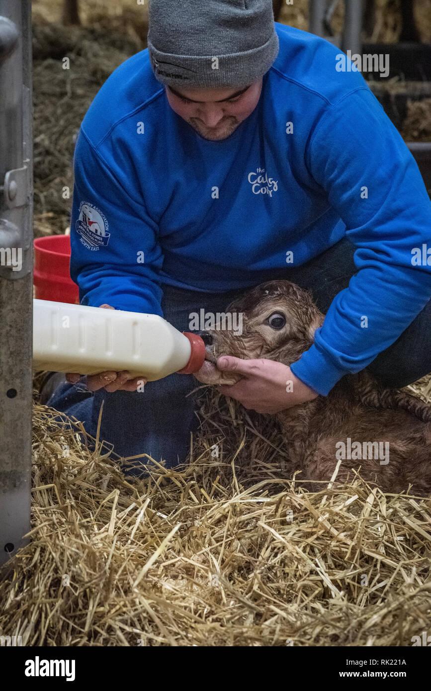 Pennsylvania farm show, Calving  area featuring birth of newborn calf. - Stock Image