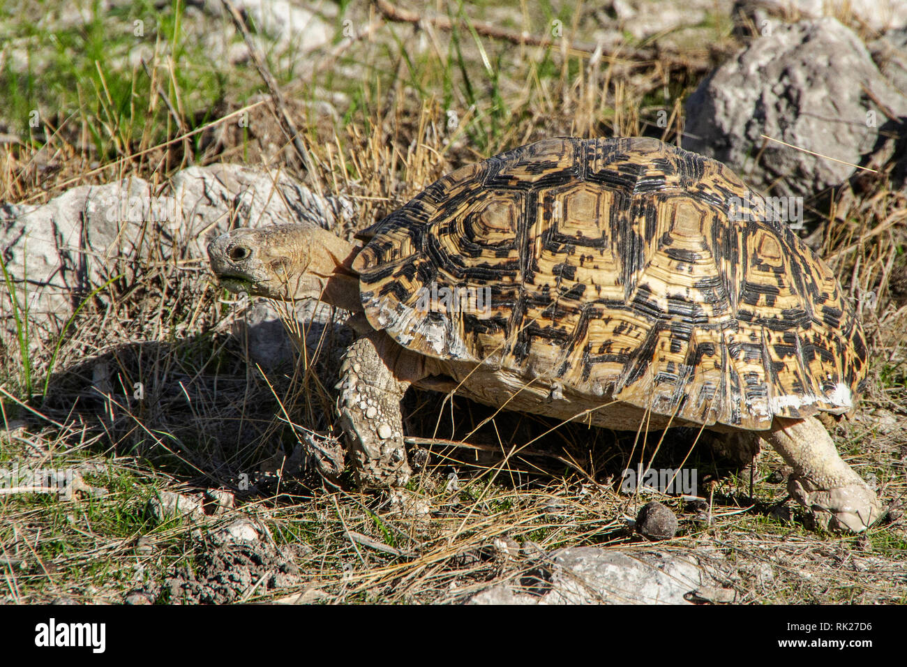 A leopard tortoise, Stigmochelys pardalis, walking amongst rocks and grass in Etosha. - Stock Image