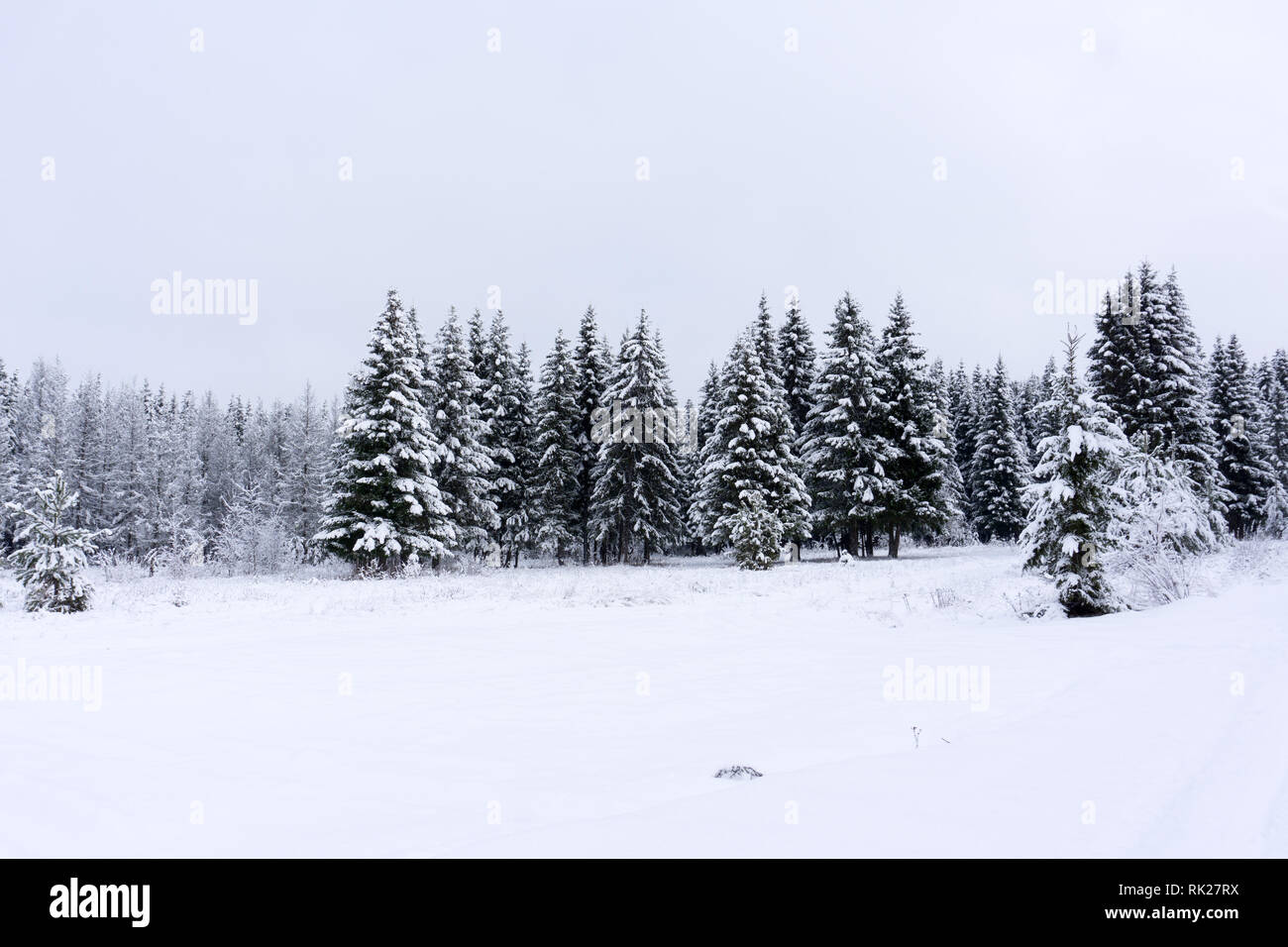 Vivid white spruces on a frosty day. Location Carpathian national park, Ukraine, Europe. Ski resort. Exotic wintry scene. Attractive winter wallpaper. - Stock Image