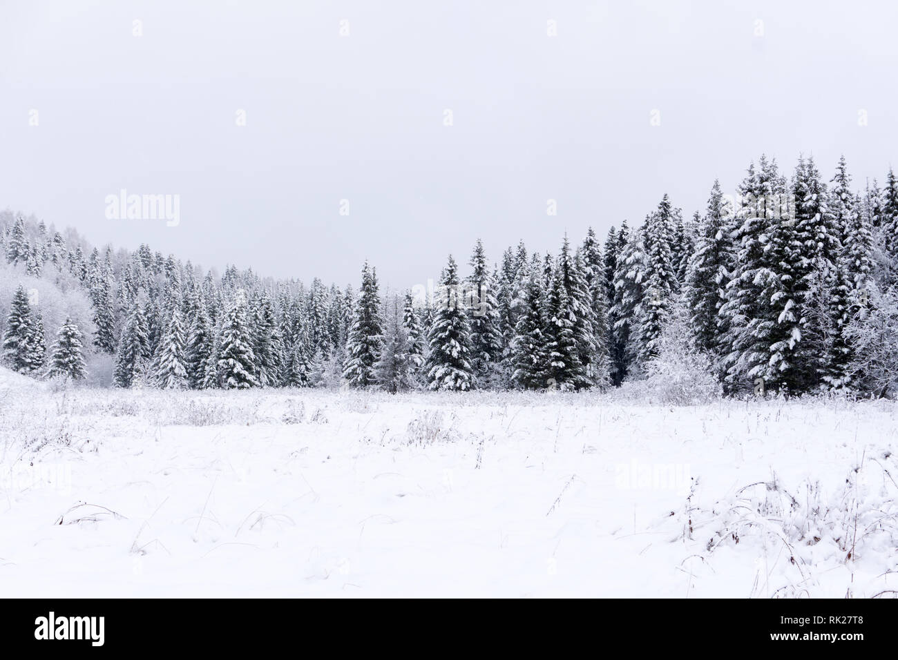 Scenic image of spruces tree Frosty day calm wintry scene Location Europe Ski resort Great picture of wild area Explore the beauty of earth Tourism co - Stock Image