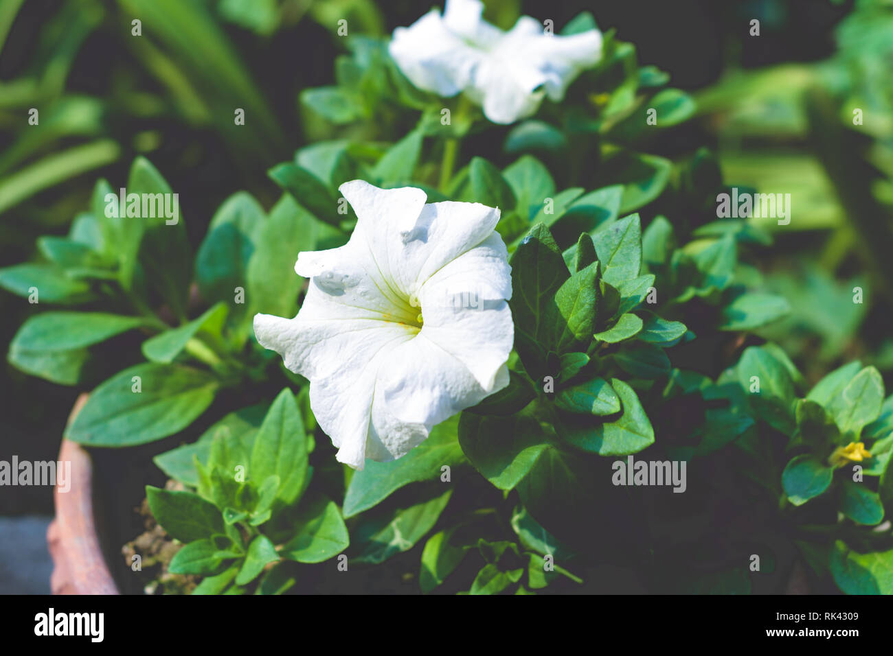 A Datura flower plant derived from the Hindu word 'Dhatura'. They are also called moonflowers, jimsonweed, devil's weed, hell's bells, thorn-apple. Th - Stock Image