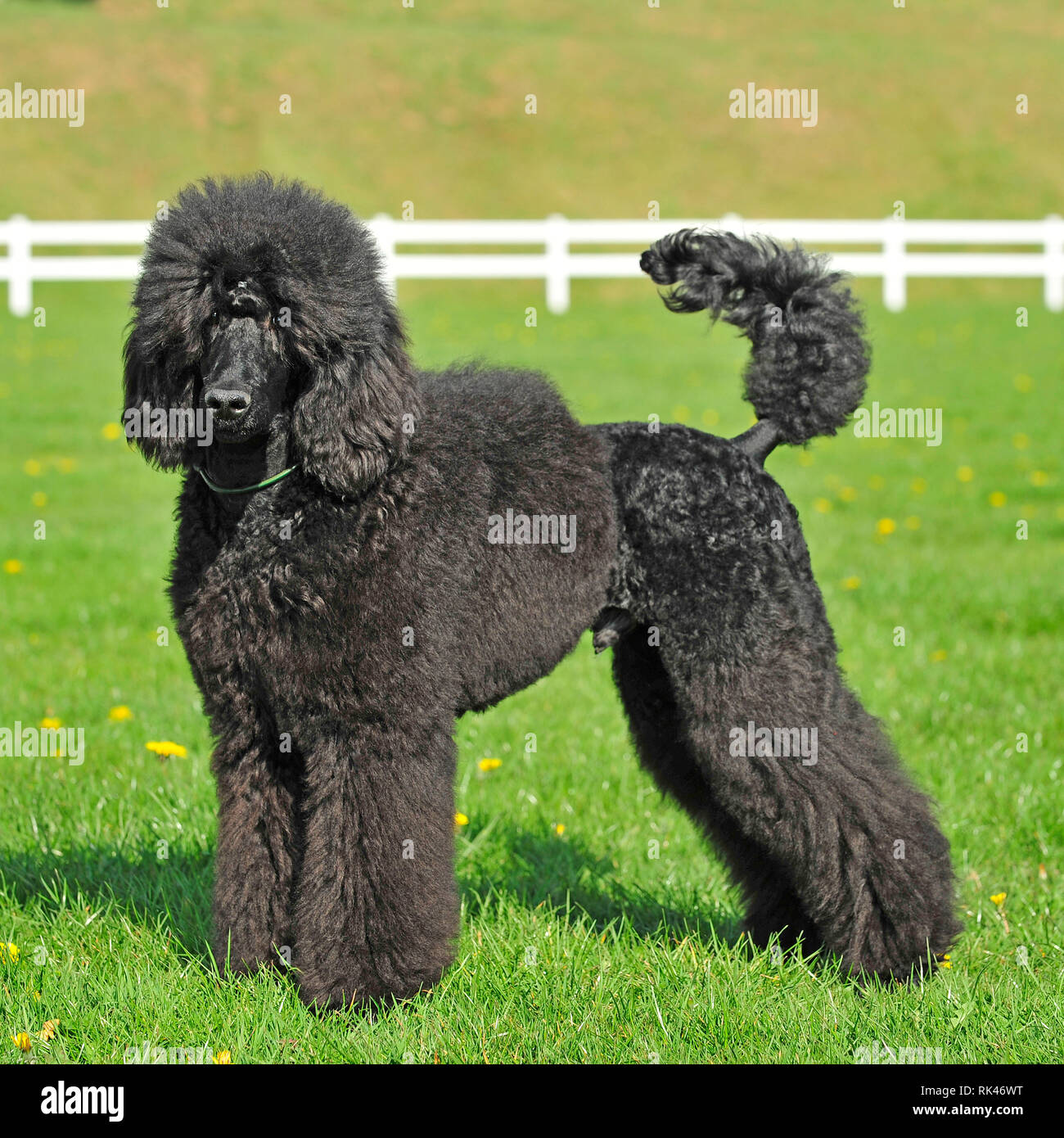 Poodle Haircut Stock Photos Poodle Haircut Stock Images