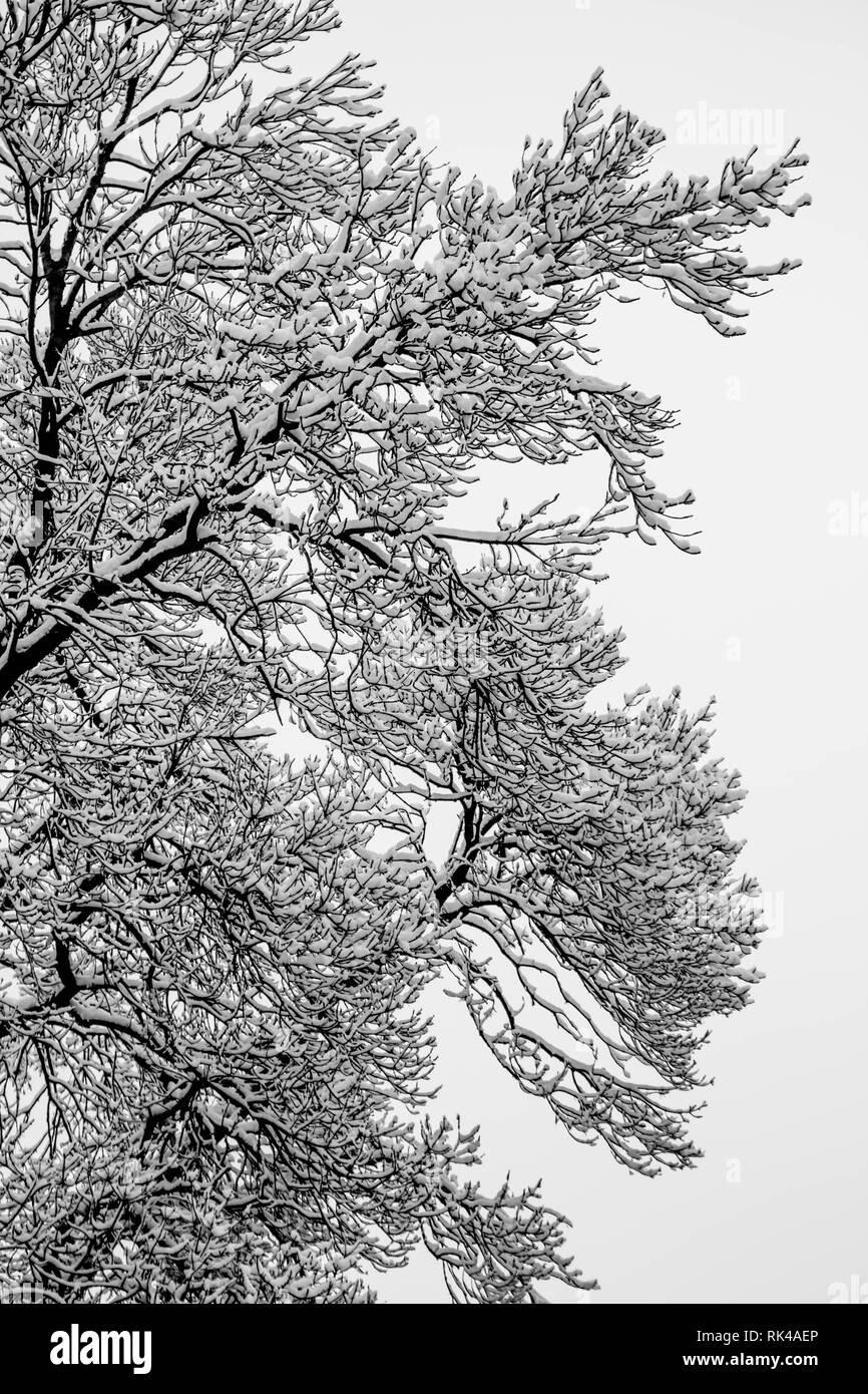 Branches of the tree covered with the snow in the park - black and white photography - Stock Image