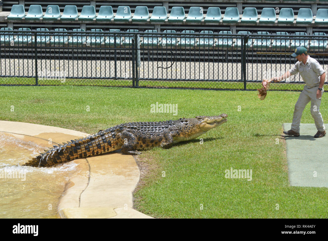 Trainer feeding crocodile at Australia Zoo.Crocodile trainer consider as is one of the most dangerous jobs in the world - Stock Image