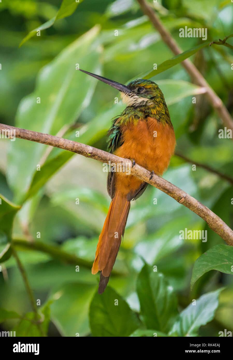 Rufous-tailed Jacamar (Galbula ruficauda), in Tobago Main Ridge Forest Reserve, a UNESCO World Heritage Site; Tobago Island, Trinidad and Tobago. - Stock Image