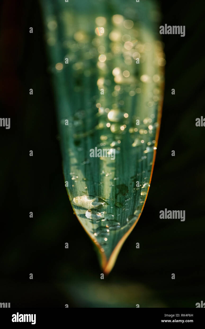 Several bright raindrops on a leaf ,selective focus , high contrast - Stock Image
