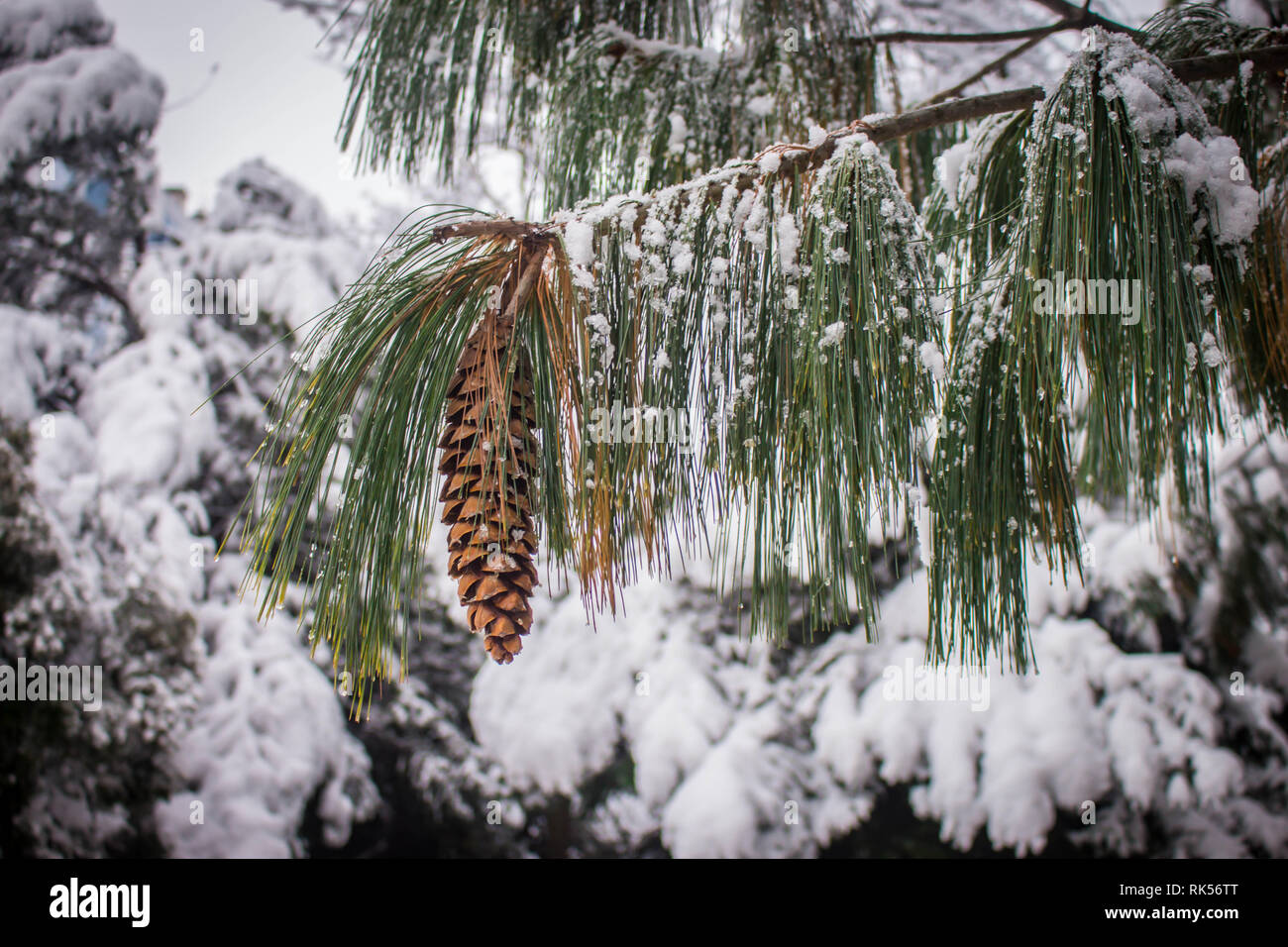 Mature brown cone of the Bhutan pine - latin name Pinus wallichiana covered with snow in the garden in Belgrade in Serbia Stock Photo