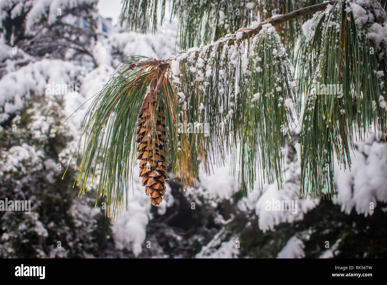 Mature brown cone of the Bhutan pine - latin name Pinus wallichiana covered with snow in the garden in Belgrade in Serbia - Stock Image