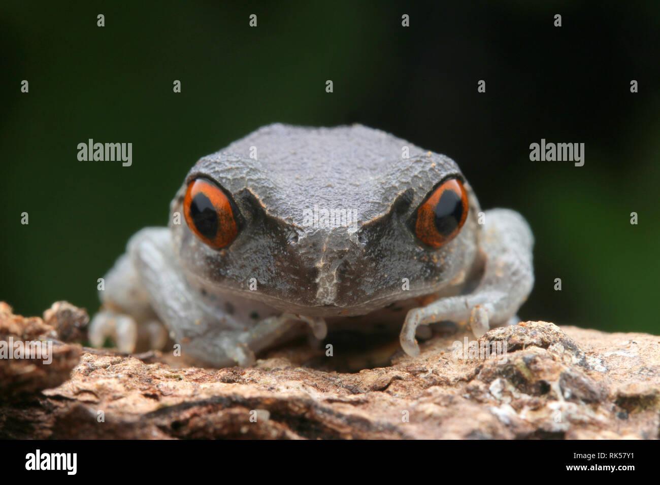 Spotted Litter Frog, Leptobrachium hendricksoni Stock Photo