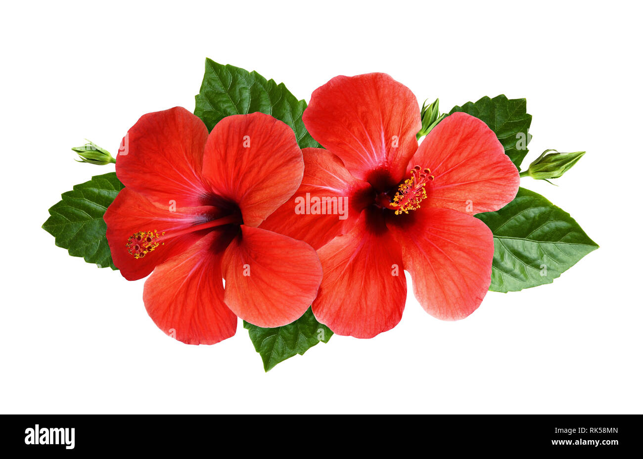 Hibiscus Flowers In Tropical Arrangement Isolated On White Top View