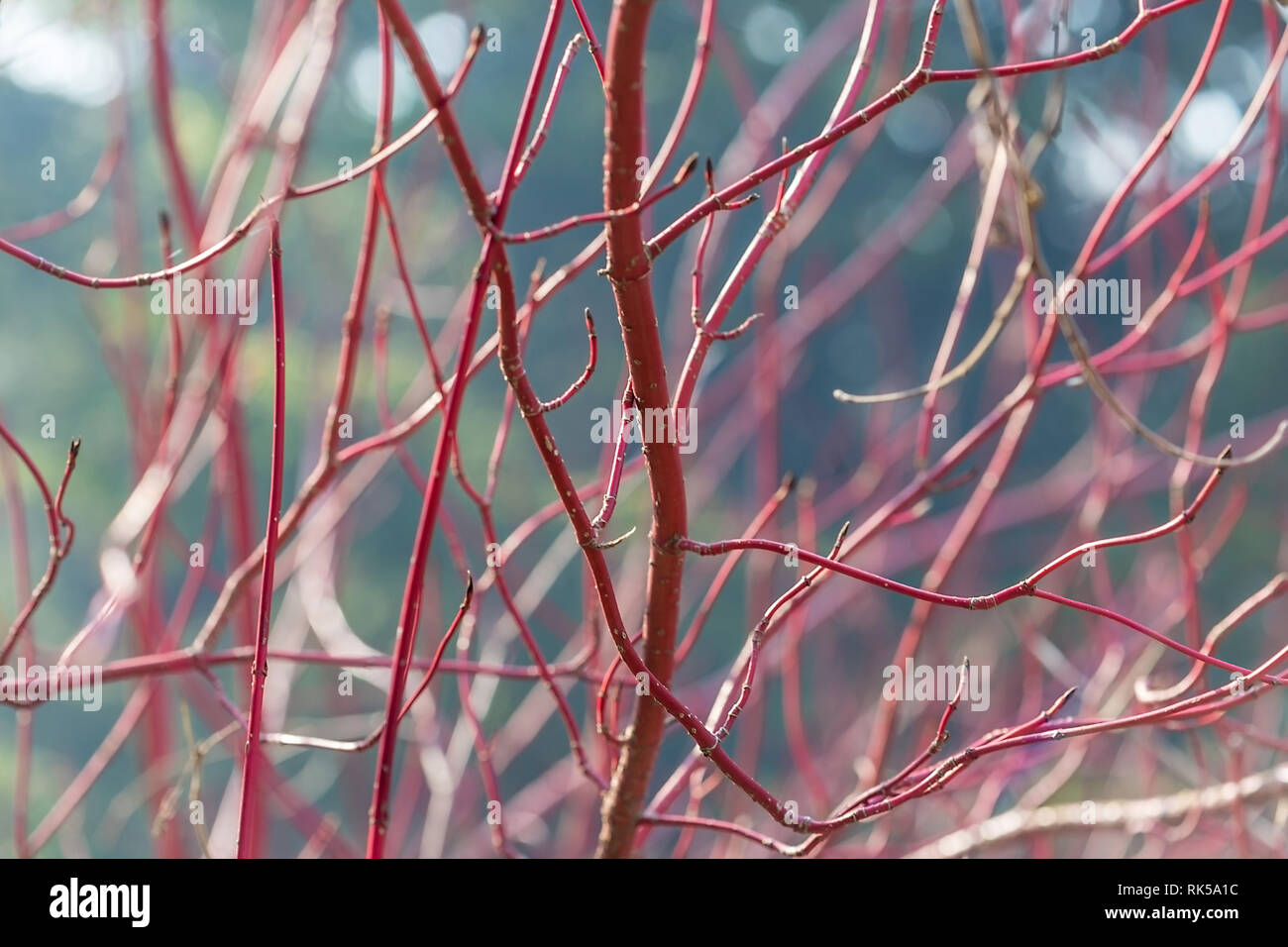 Abstract colorful Background. Dogwood, Cornus alba Sibirica, Westonbirt Dogwood, with brilliant red stems which make an outstanding display in the win - Stock Image