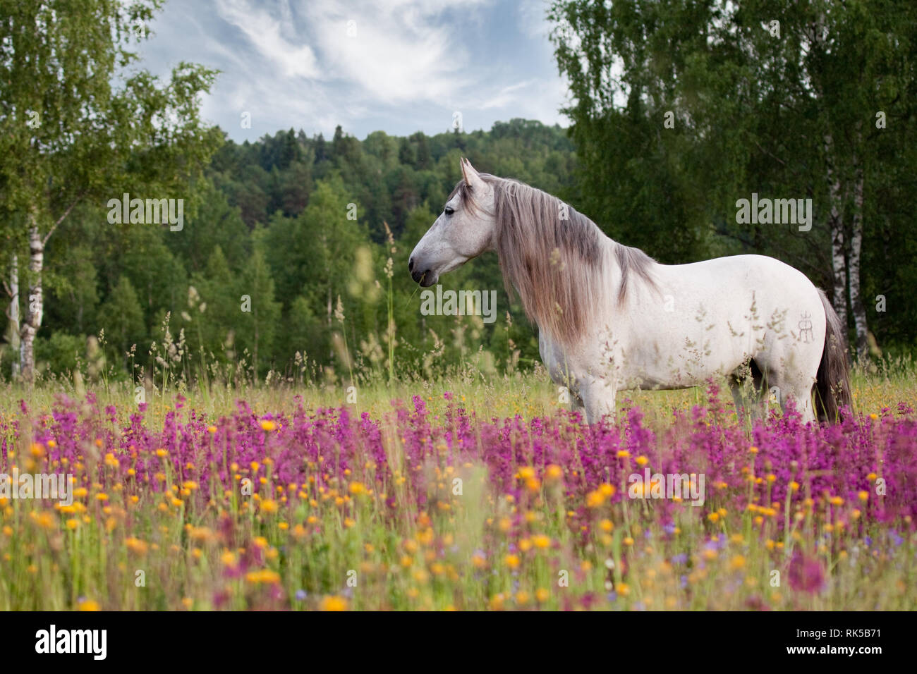 White spanish horse with long mane stand in the violet field in summer. Horizontal, side view. Stock Photo