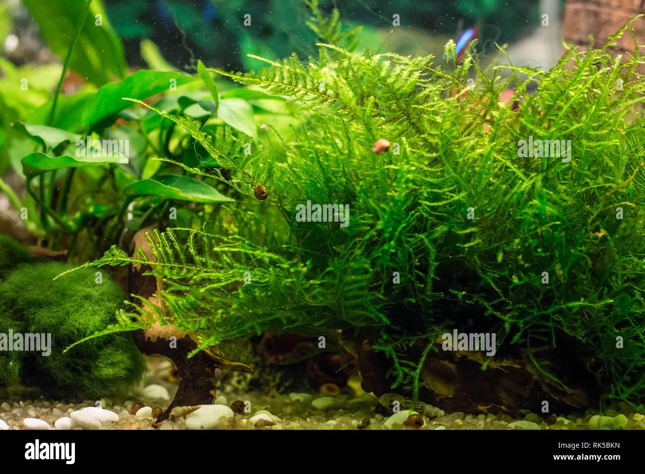 turf of java moss latin name Vesicularia in aquarium Stock Photo
