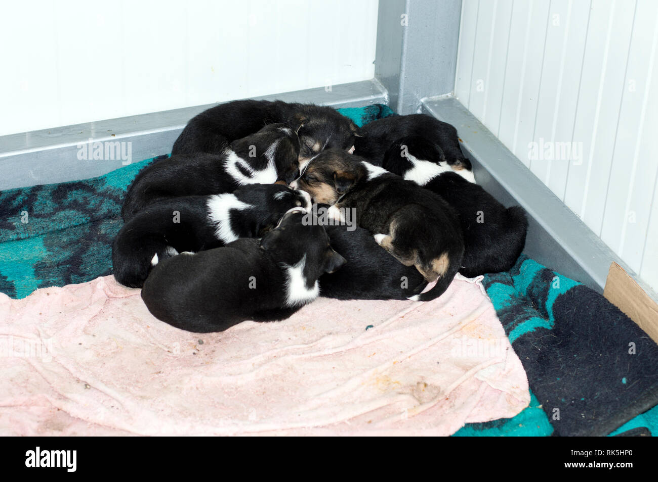 lots of black puppies sleeping in the shelter, charity and mercy theme, animal shelter, dog rescue, volunteer work - Stock Image