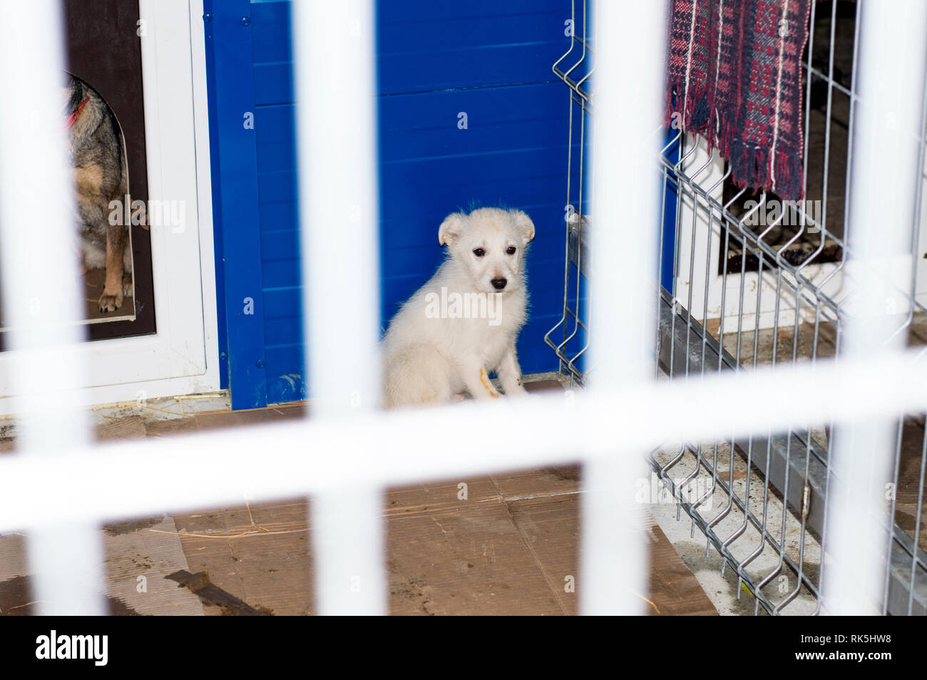 white beautiful puppy in shelter, charity and mercy theme, animal shelter, dog rescue, volunteer work - Stock Image