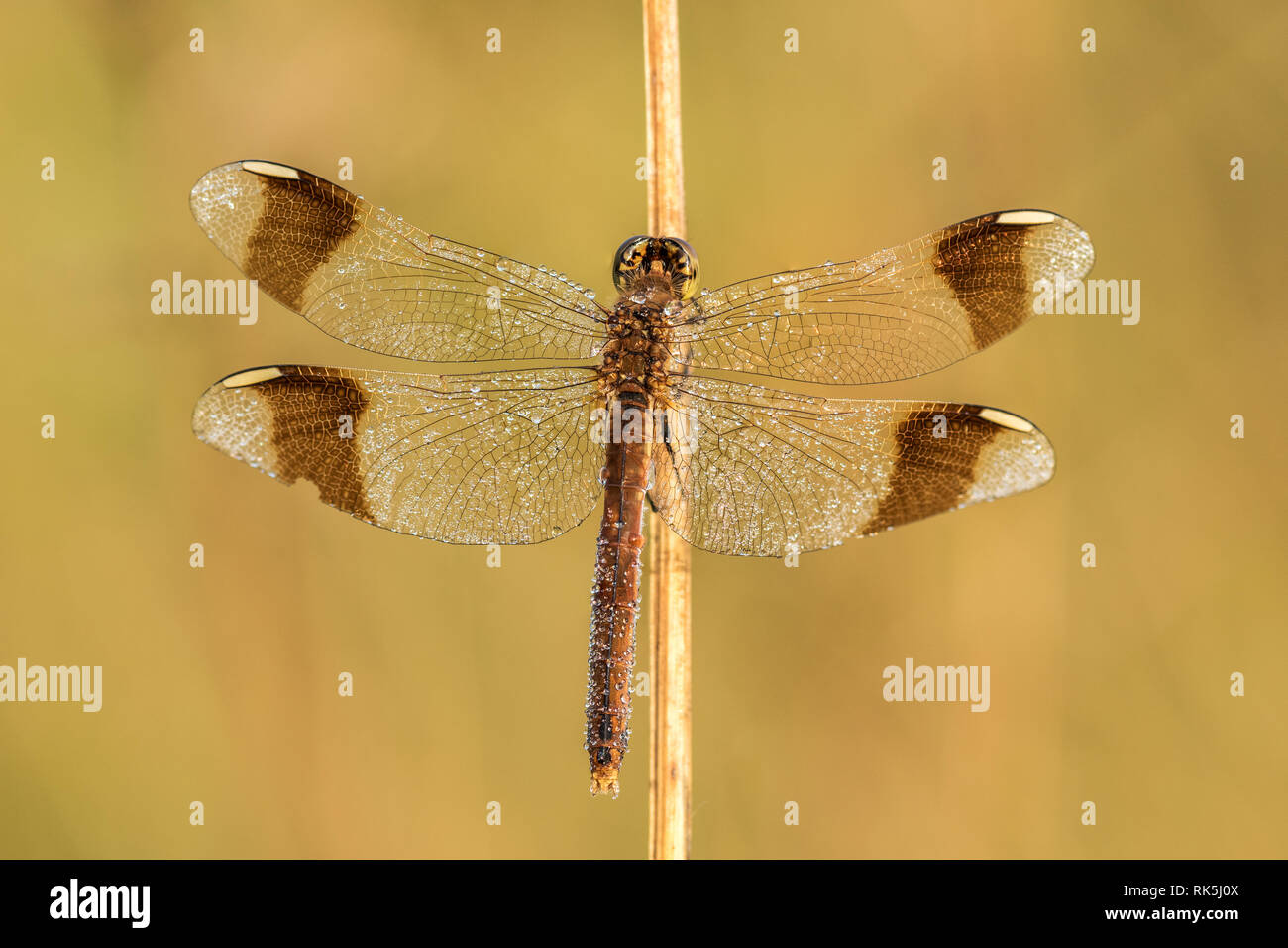 Beautiful nature scene with dragonfly Banded darter (Sympetrum pedemontanum). Macro shot of dragonfly Banded darter (Sympetrum pedemontanum) Stock Photo