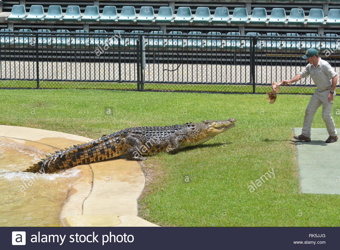 SUNSHINE COAST - JAN 25 2019: Trainer feeding crocodile at Australia Zoo.Crocodile trainer consider as is one of the most dangerous jobs in the world - Stock Image