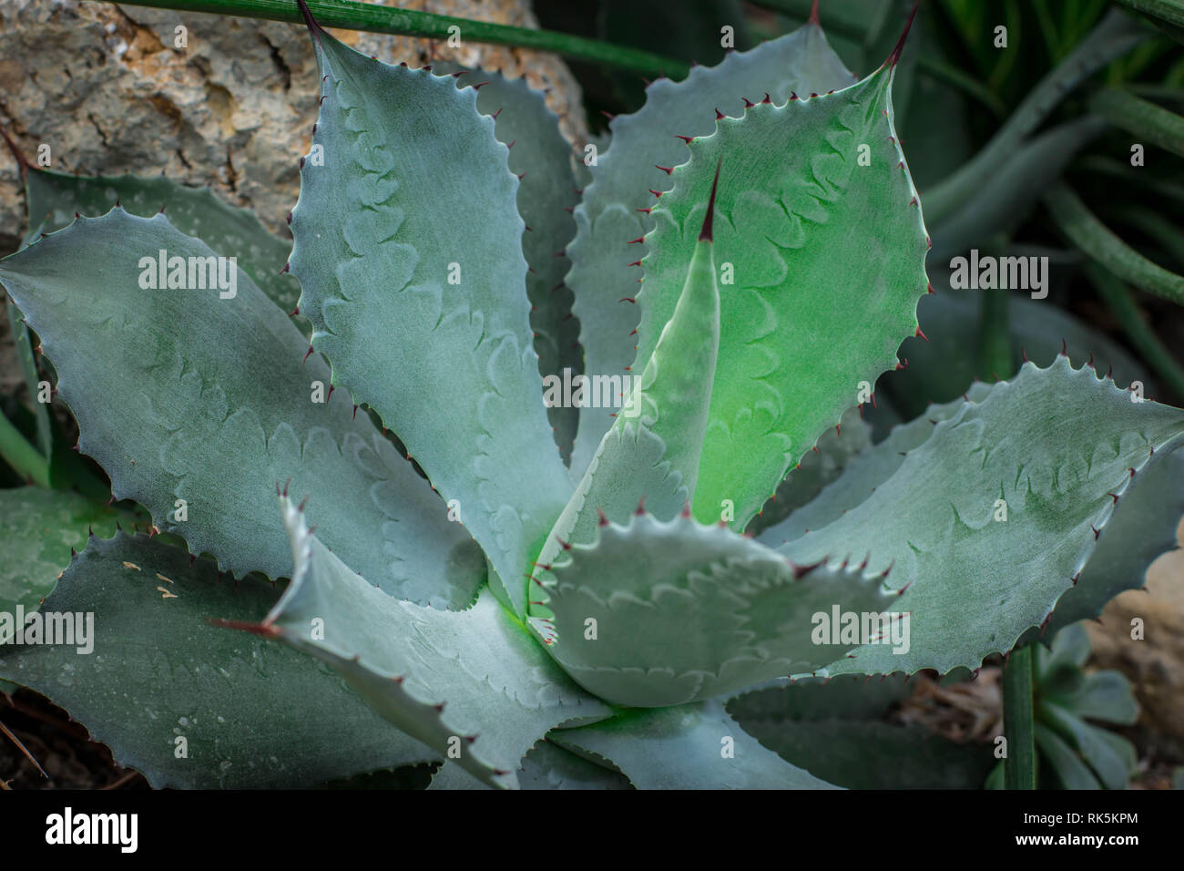 Single plant Agave isthmensis with imprints of leaf margin - Stock Image