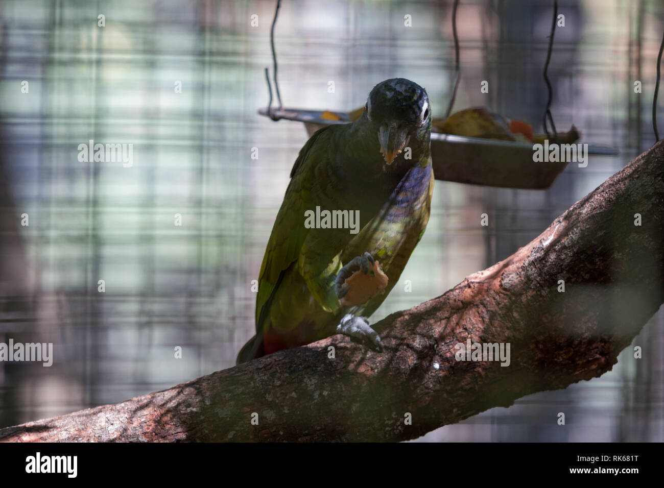 Scaly-headed parrot (Pionus maximiliani), aka scaly-headed pionus, Maximilian pionus, Maximilian parrot, feeding inside a cage at Asuncion Zoo, Paragu - Stock Image