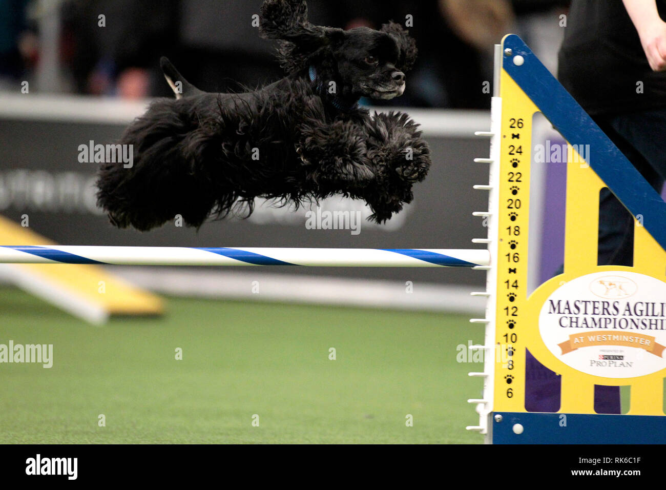 New York, USA. 09th Feb, 2019. New York, USA. 09th Feb, 2019. Westminster Dog Show - Cody, a Cocker Spaniel, competing in the preliminaries of the Westminster Kennel Club's Master's Agility Championship. Credit: Adam Stoltman/Alamy Live News Stock Photo