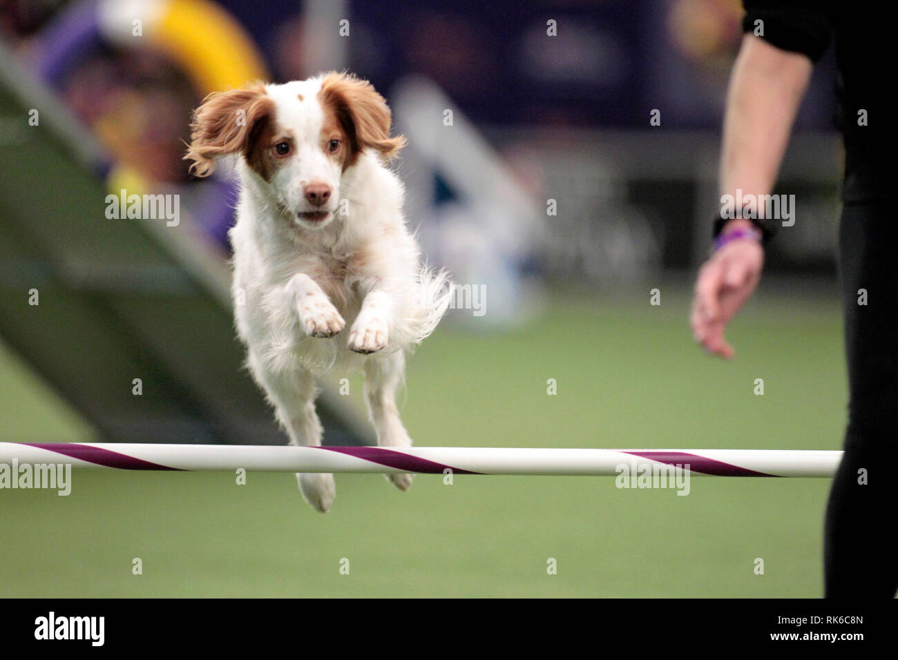 New York, USA. 09th Feb, 2019. Westminster Dog Show - Sadie, a Brittany, competing in the preliminaries of the Westminster Kennel Club's Master's Agility Championship. Credit: Adam Stoltman/Alamy Live News Stock Photo