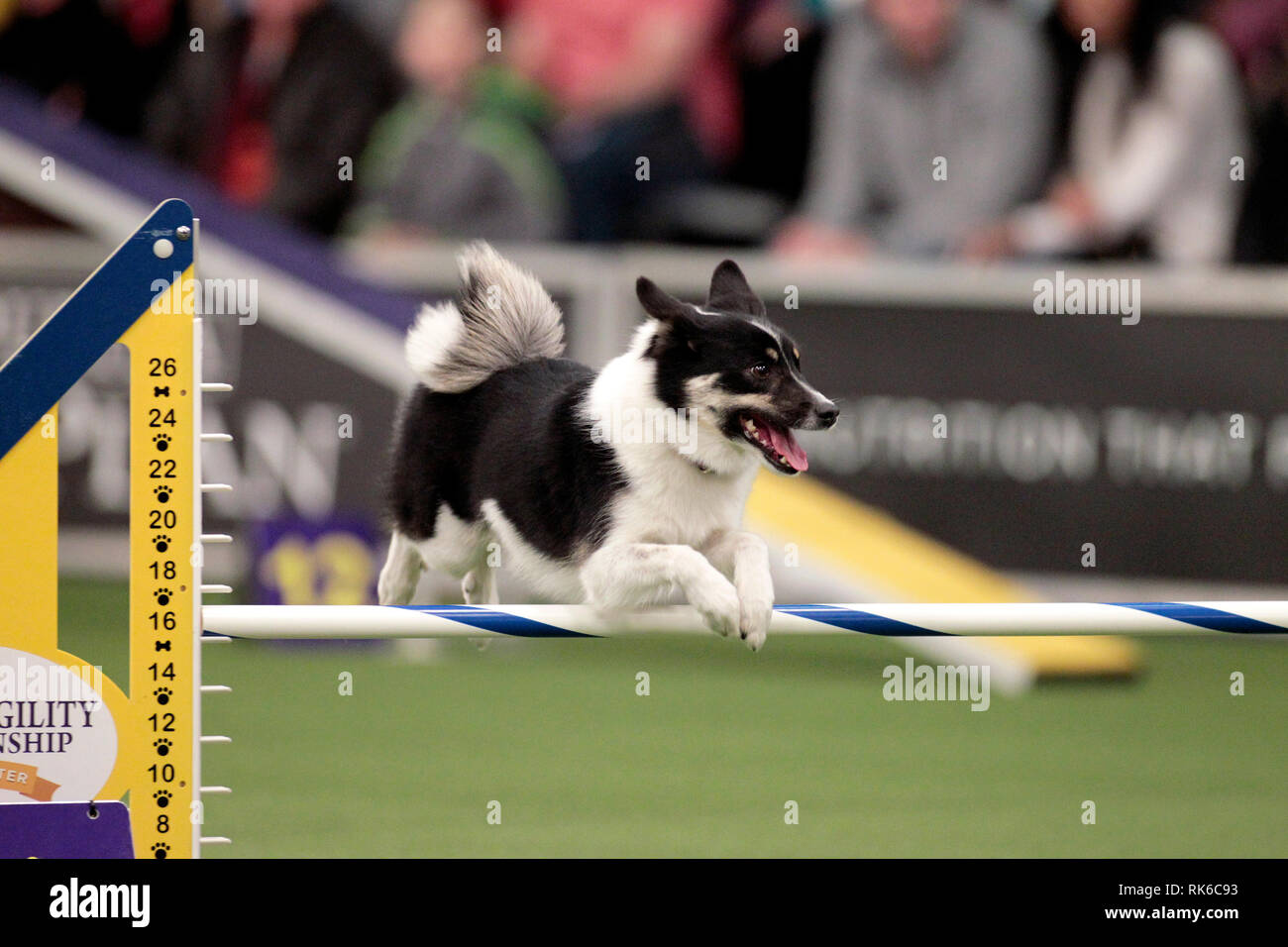 New York, USA. 09th Feb, 2019. Westminster Dog Show - Loa, an Icelandic Sheepdog, competing in the preliminaries of the Westminster Kennel Club's Master's Agility Championship. Credit: Adam Stoltman/Alamy Live News Stock Photo