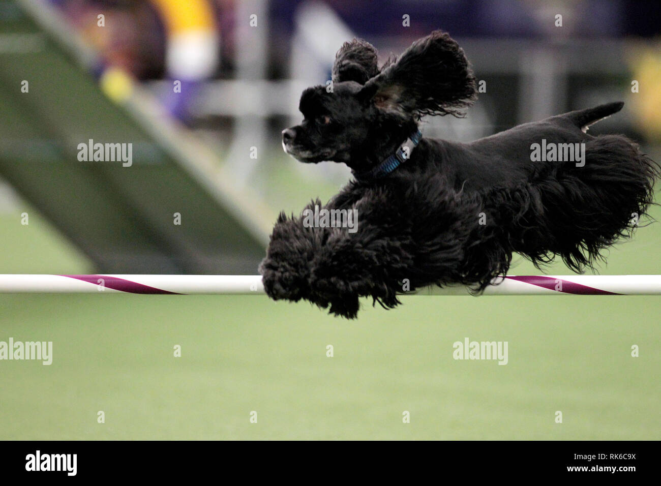 New York, USA. 09th Feb, 2019. Westminster Dog Show - Cody, a Cocker Spaniel, competing in the preliminaries of the Westminster Kennel Club's Master's Agility Championship. Credit: Adam Stoltman/Alamy Live News Stock Photo
