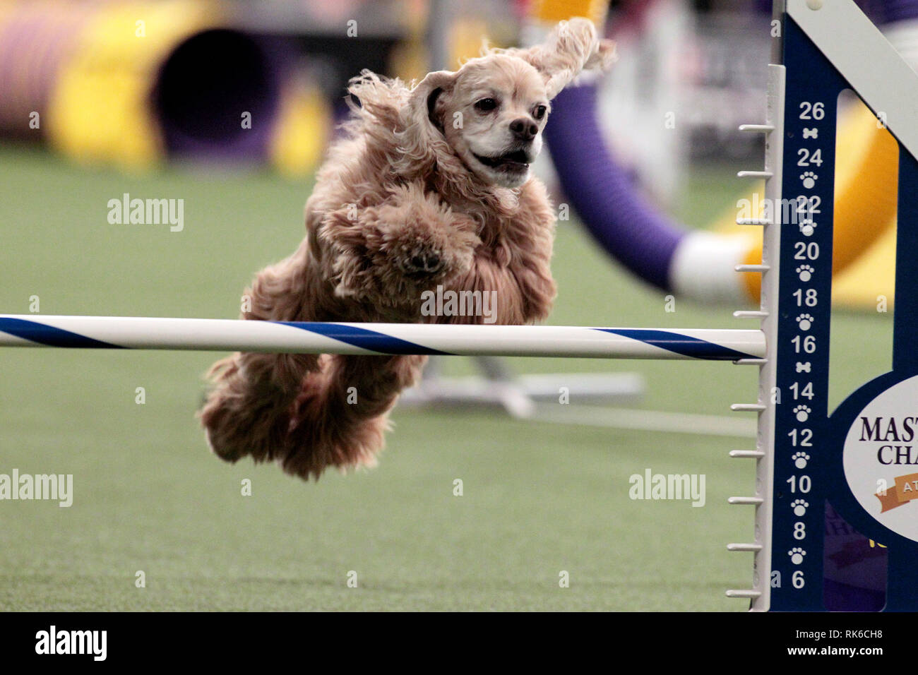 Westminster Dog Show - 9 February 2019, New York City:  Joey, a Cocker Spaniel, competing in the preliminaries of the Westminster Kennel Club's Master's Agility Championship. Stock Photo