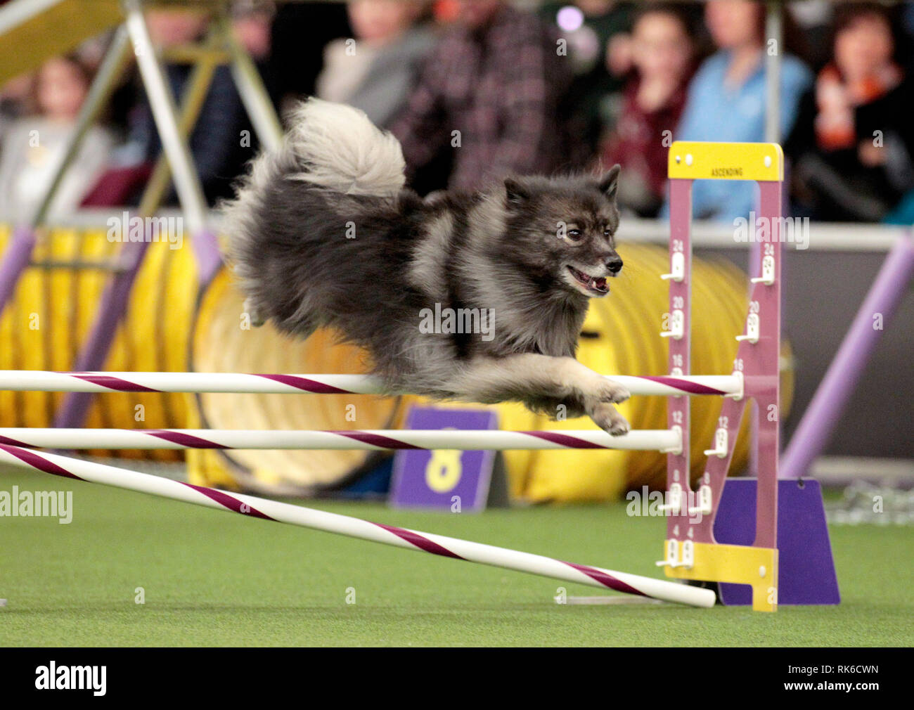 Westminster Dog Show - 9 February 2019, New York City:  Ruger, A Keeshound, competing in the preliminaries of the Westminster Kennel Club's Master's Agility Championship. Stock Photo