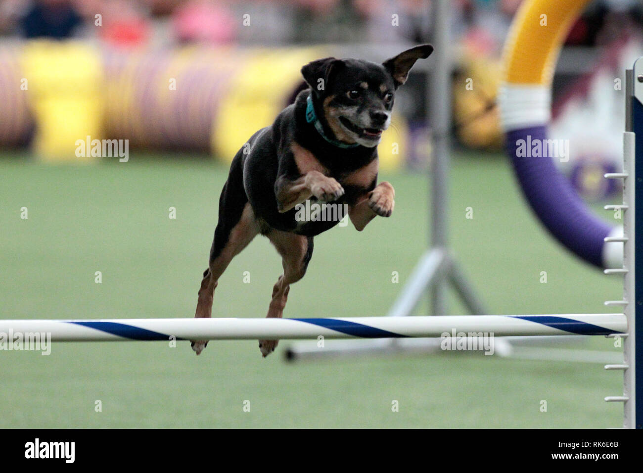 Westminster Dog Show - 9 February 2019, New York City:  Lucy, an All American Dog, competing in the preliminaries of the Westminster Kennel Club's Master's Agility Championship. Stock Photo