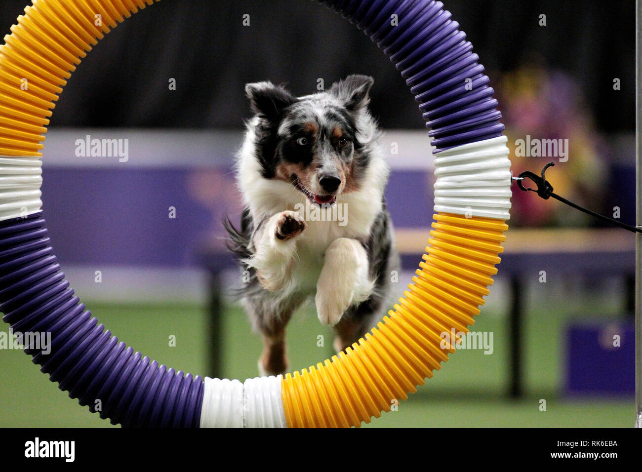 Westminster Dog Show - 9 February 2019, New York City:  Silk, an Australian Shepard, competing in the preliminaries of the Westminster Kennel Club's Master's Agility Championship. Stock Photo