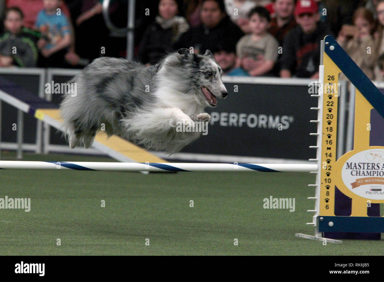New York, USA. 9th Feb 2019. Duke, A Shetland Sheepdog, competing in the preliminaries of the Westminster Kennel Club's Master's Agility Championship. Credit: Adam Stoltman/Alamy Live News Stock Photo