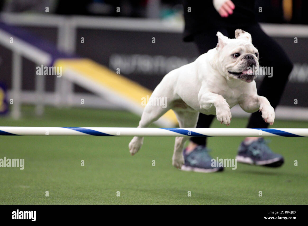 New York, USA. 9th Feb 2019. Rudy, a Bulldog, competing in the preliminaries of the Westminster Kennel Club's Master's Agility Championship. Credit: Adam Stoltman/Alamy Live News Stock Photo