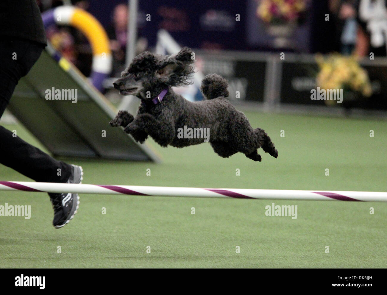 New York, USA. 9th Feb 2019. Chloe, A Poddle, competing in the preliminaries of the Westminster Kennel Club's Master's Agility Championship. Credit: Adam Stoltman/Alamy Live News Stock Photo