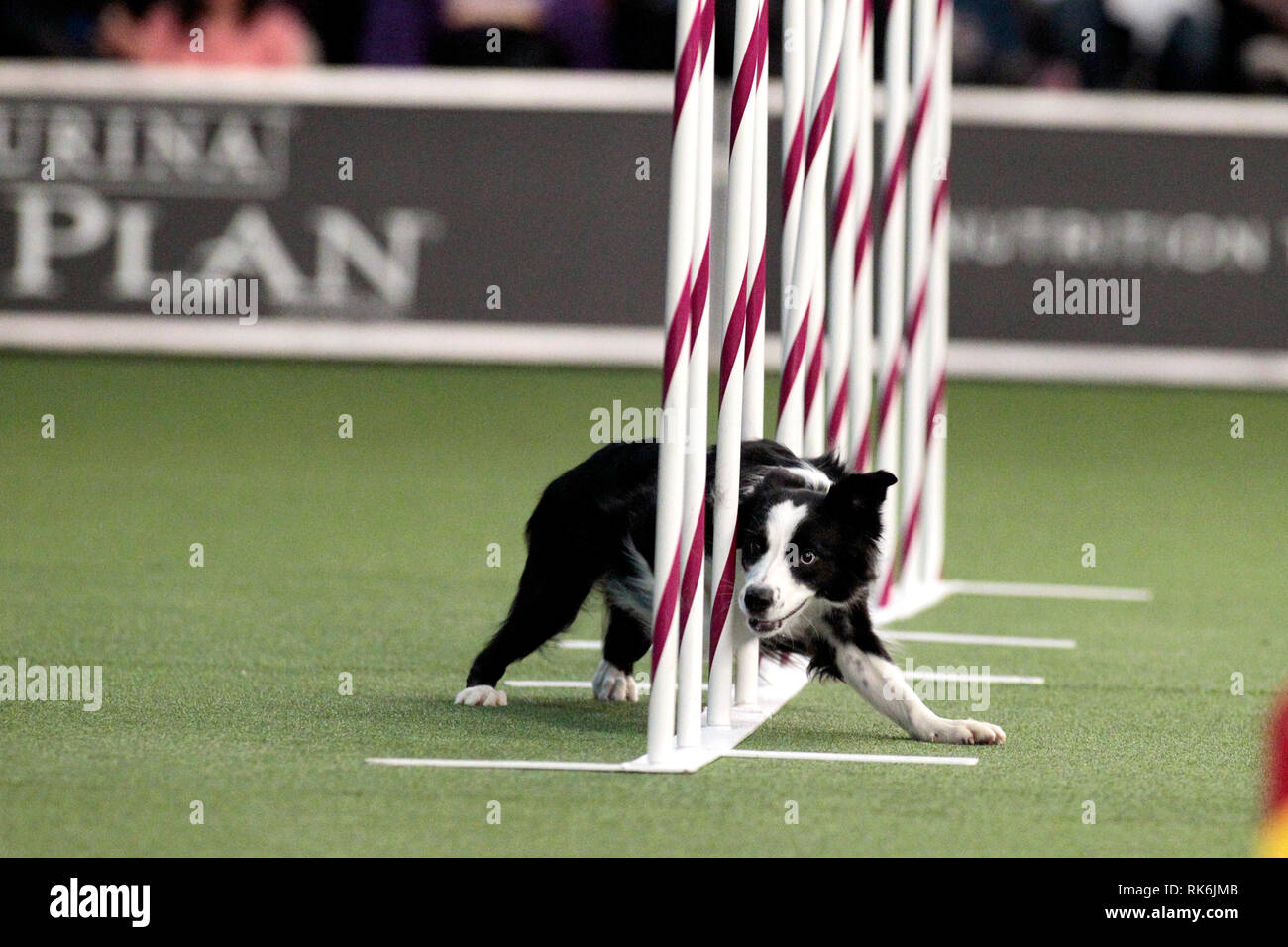 New York, USA. 9th Feb 2019. Pink, A Border Collie, competing in the preliminaries of the Westminster Kennel Club's Master's Agility Championship. Credit: Adam Stoltman/Alamy Live News Stock Photo
