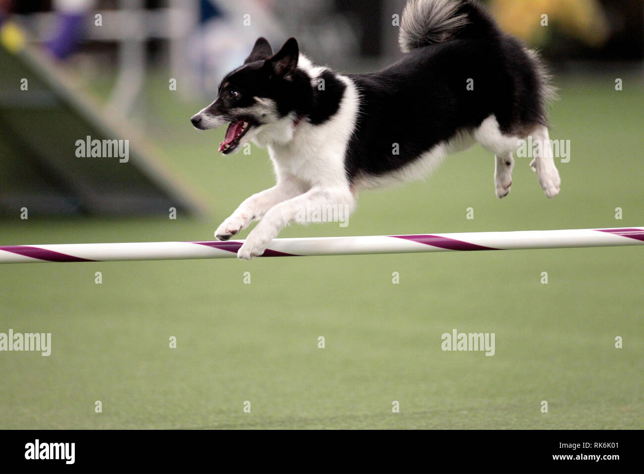New York, USA. 9th Feb 2019. Loa, an Icelandic Sheepdog, competing in the preliminaries of the Westminster Kennel Club's Master's Agility Championship. Credit: Adam Stoltman/Alamy Live News Stock Photo