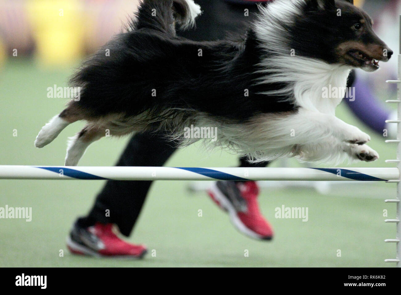 New York, USA. 9th Feb 2019. Boss, A Shetland Sheepdog, competing in the preliminaries of the Westminster Kennel Club's Master's Agility Championship. Credit: Adam Stoltman/Alamy Live News Stock Photo