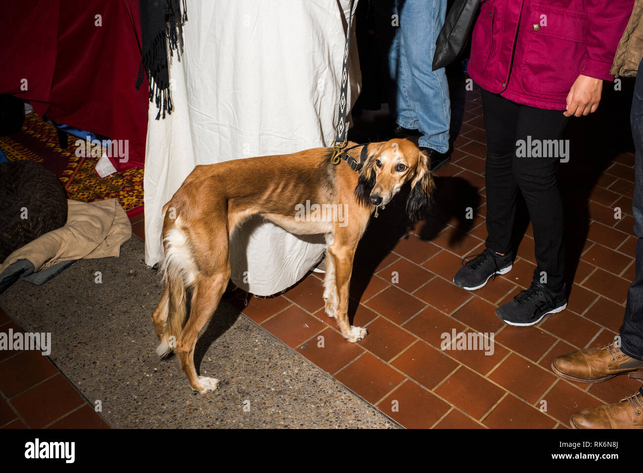 New York, USA  9th Feb 2019  Meet the Breeds, Saluki