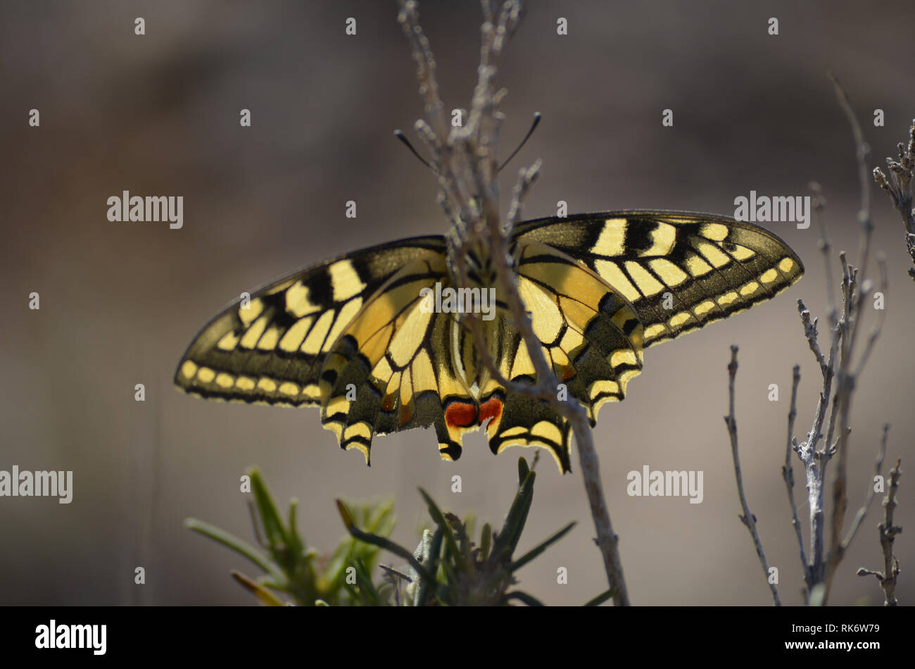 Papilio machaon, a migratory butterfly in Les Rodanes natural reserve, Valencia, Spain - Stock Image