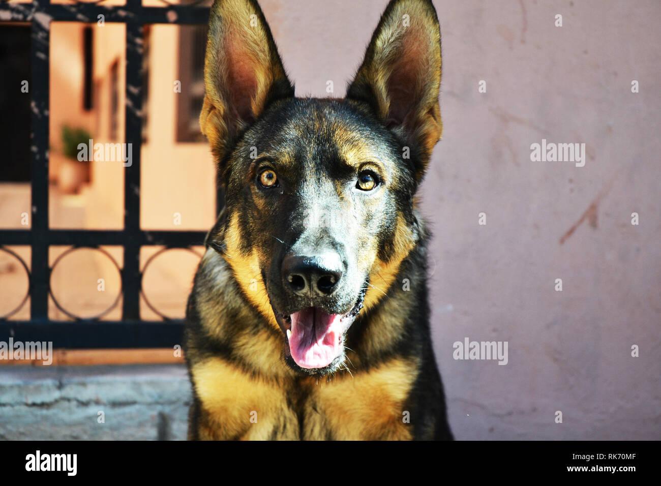 German Rottweiler Dog - Stock Image