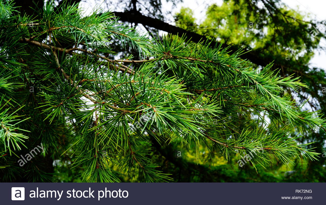 Pine branch with green needles seen in detail, with blurred background - Stock Image