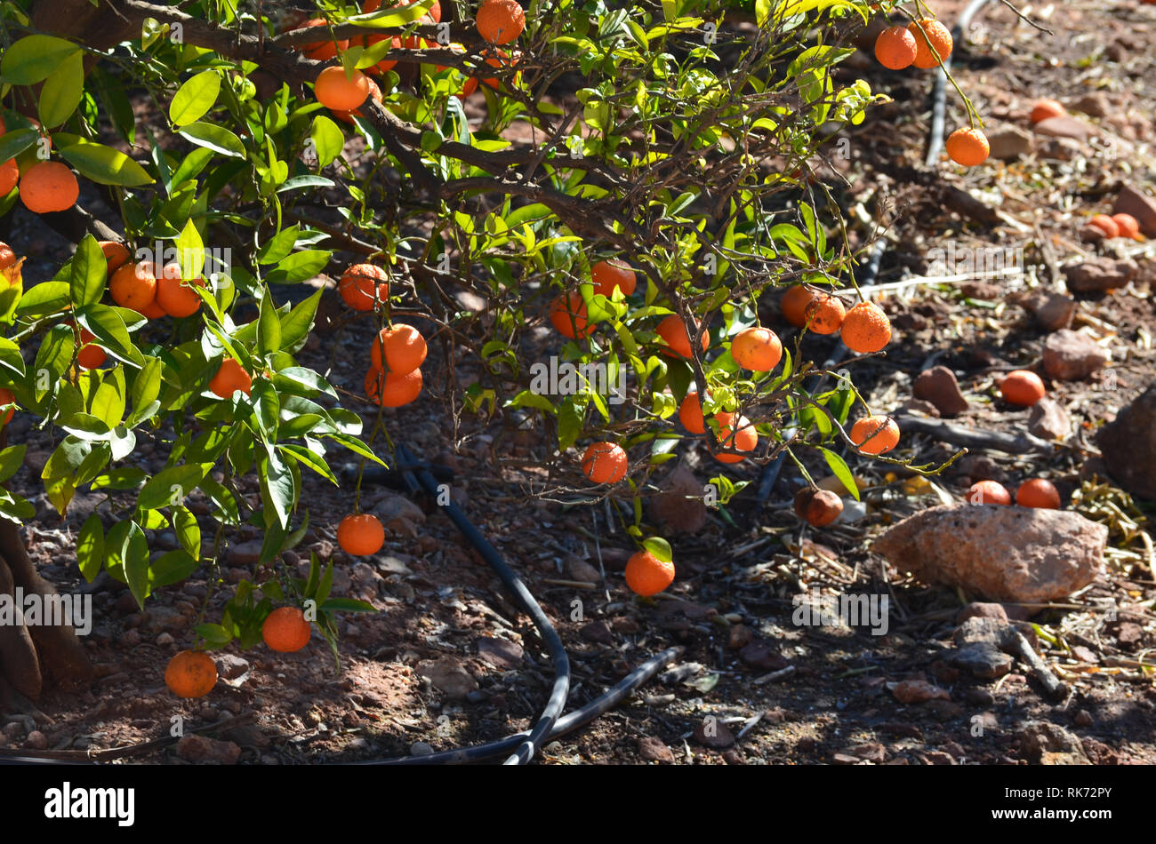 Clementines left unpicked in the trees, showing the effects of the 2019 citrus fruit crisis in València, Spain - Stock Image