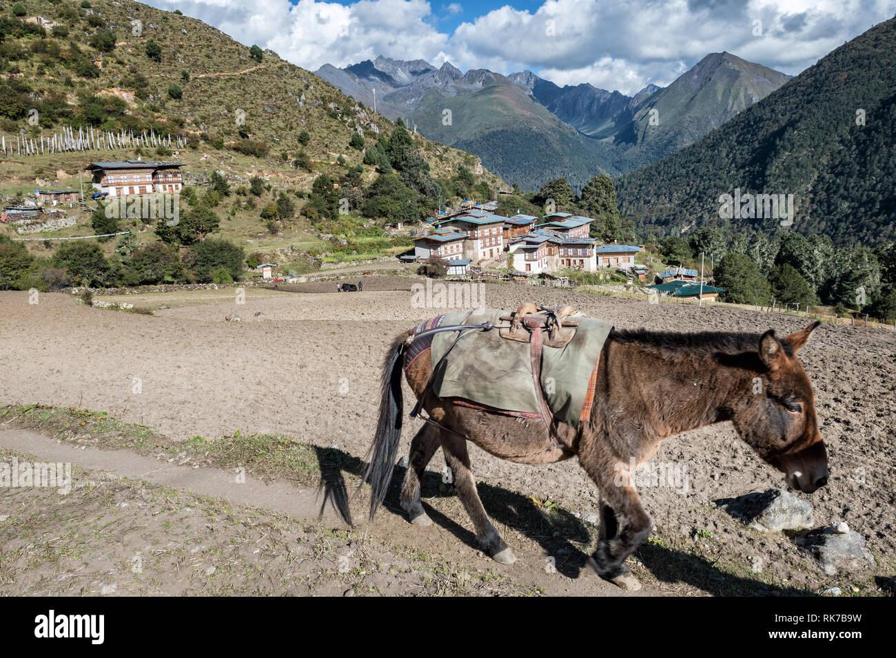 Mule in the remote village of Laya, Gasa District, Snowman Trek, Bhutan Stock Photo