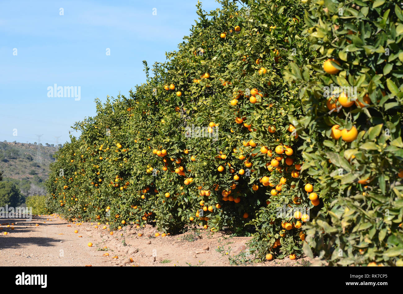 Oranges left unpicked in the trees and rotting in the ground, showing the effects of the 2019 citrus fruit crisis in València, Spain - Stock Image