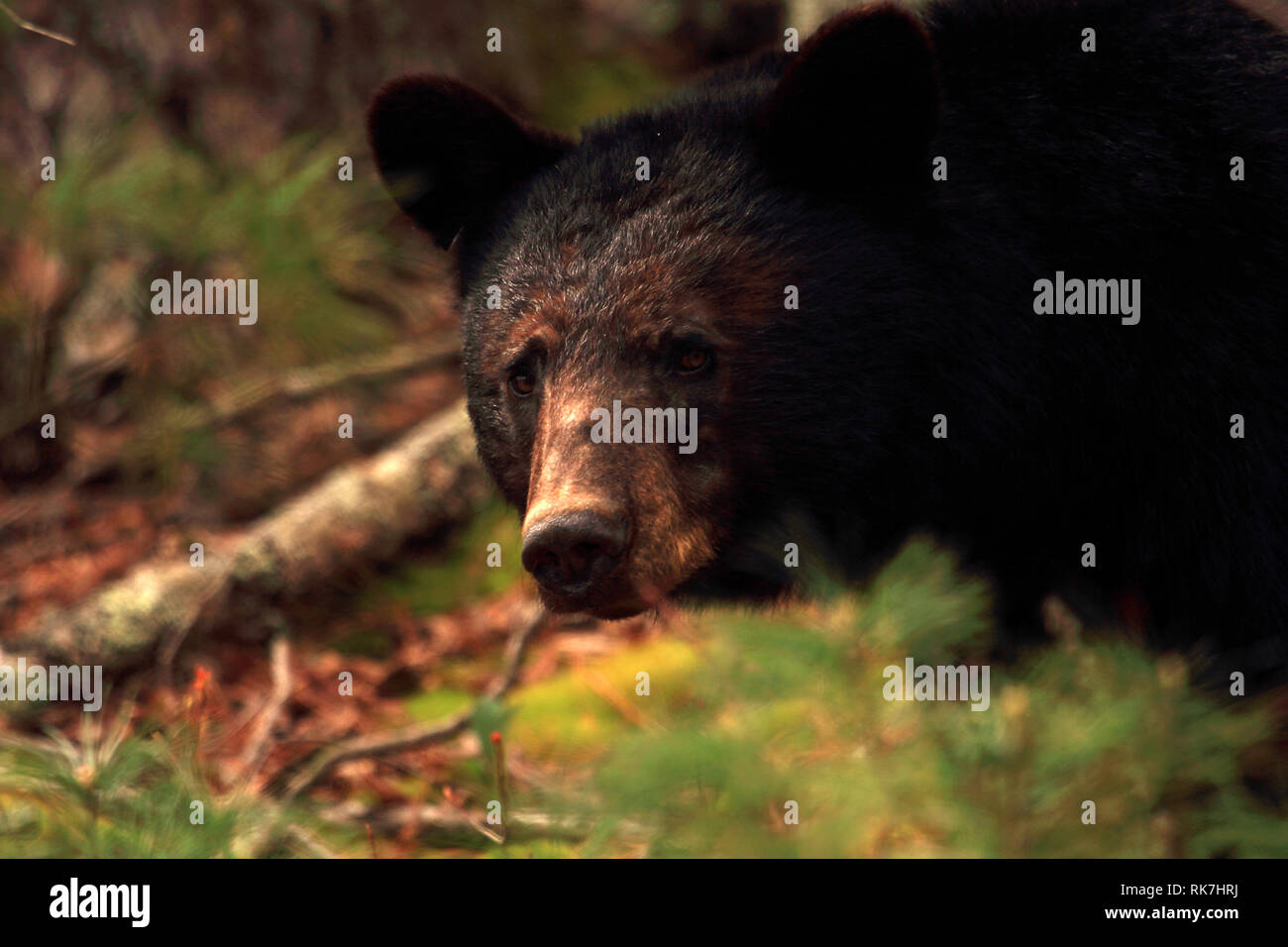 Black Bear in the Cades Cove section of Great Smokey Mountains National Park, Tennessee Stock Photo