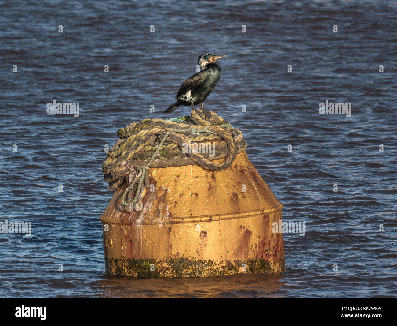 Great Cormorant seabird perched on top of floating buoy in sea - Stock Image