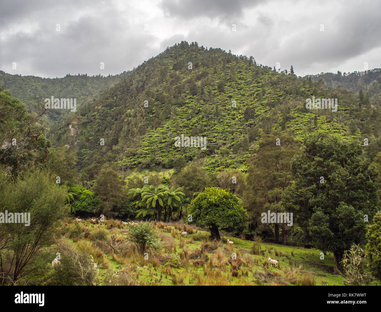 Sheep grazing on rough pasture, abandoned farm land, regenerating forest hills, tree ferns and kanuka, Ahuahu Valley, Whanganui River, New Zealand - Stock Image