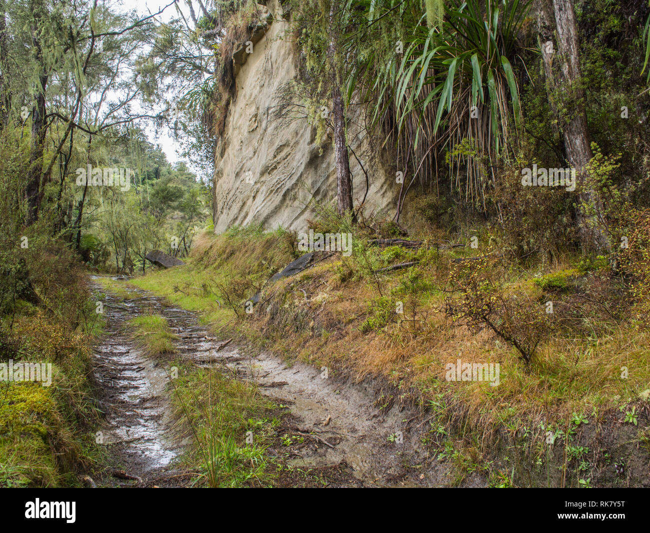 Dirt trail track through regenerating secondary forest growing on abandoned land,  sandstone cliff bluff,  Ahuahu Valley, Whanganui River, New Zealand - Stock Image